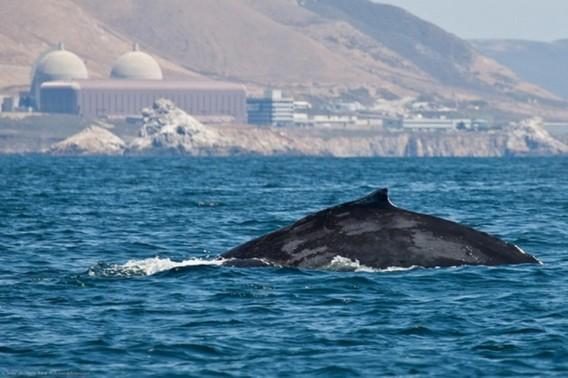 Горбатый кит на фоне АЭС Дьябло Каньон в Калифорнии. США