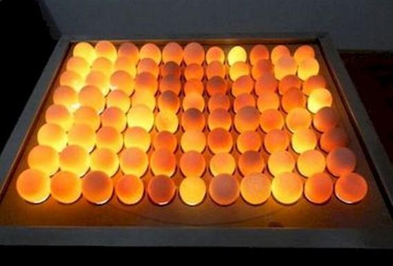Овоскоп для гусиных яиц