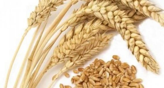 Несколько колосьев пшеницы и горстка зерна на белом фоне